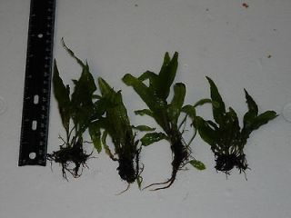 Live JAVA FERN   USA GROWN Plant for Tropical Fish Aquarium tank