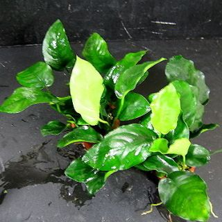 nana 48~60 leaves   Live aquarium plant moss fish water plants