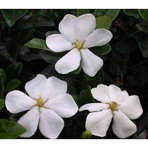 50 Seeds Gardenia jasminoides Gardenia, Cape jasmine