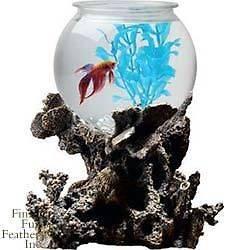 1000 images about betta bowl on pinterest aqua culture for Walmart betta fish