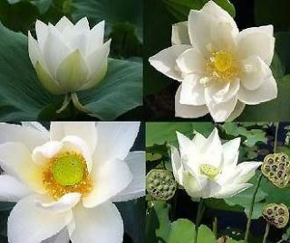 100 SEEDS WHITE NIGHT WATER LILY Pond (NOT LOTUS) FRESH VIABLE