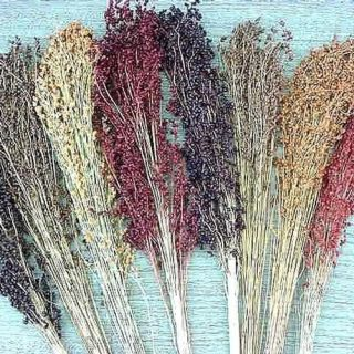 200 seeds MIXED BROOM CORN red blonde black brown