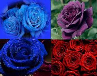BLUE ROSE RED ROSE PURPLE ROSE 15 SEEDS 5 EACH AL1985SC ROSE BUSH
