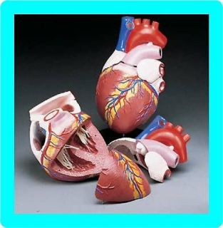 NEW* JUMBO HUMAN HEART ANATOMICAL ANATOMY MODEL CARDIAC