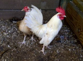 Cuban Kikiriki Bantam Chicken Hatching Eggs