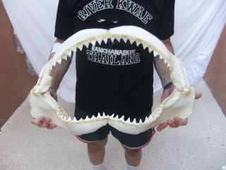 Bull Shark Jaws 21 requin tiburon squalo taxidermy R44/280
