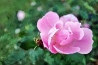 knock out roses in Roses