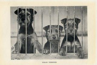 Welsh Terrier Three Puppies Lovely Original Vintage Dog Print 1933