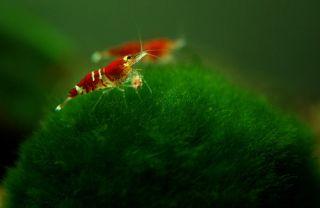 Giant Marimo Live Tropical Fish Discus Aquarium Plant