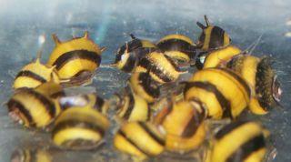 Live Spiral Horn Nerite Snails Fish Tank Aquarium