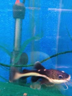 live Tropical Fish Redtail catfish Freshwater Jumbo Aquarium fish