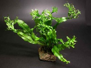 Windelov Fern for Live Fish Plecos Discus Tank Plant BH