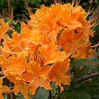 Deciduous Exbury Azalea Baltic Amber Very Hardy 4 Pot