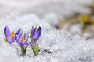 Early Spring Crocus in Snow series Royalty Free Stock Photo