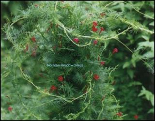 Hummingbird Cypress Vine RED Blooms 25 Seeds