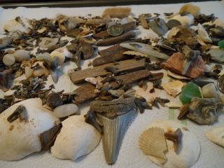 Big Lot Chesapeake Bay MD Sharks Teeth Petrified Wood More See Photos
