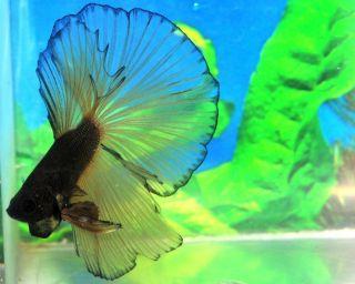 Mustapha Male Halfmoon Betta Live Fish FM5MSTPH