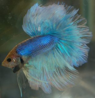 Blue Yellow Butterfly Grizzle Halfmoon Male Live Betta Fish