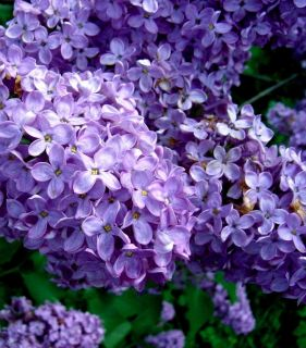 Old fashioned purple lilac 6 10 inch flowering shrub tree seedling