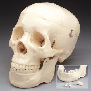 Life Size Bucky 1st Quality Human Skull Bones Halloween Skeleton Body