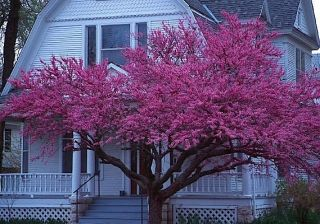 Eastern Red Bud Cercis canadensis Northern Tree Seeds Showy Flowers
