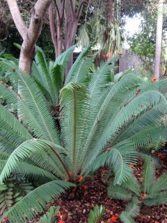 Hardy Live Ice Blue Cycad Cactus Garden Plant Large 5 Gallon