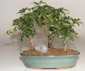 Hawaiian Umbrella Beginner Bonsai 3 Tree Group Indoor
