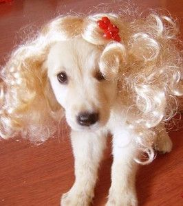 Amazing Pet Wig Dog Wig Cat Wigs Pet Wig Supplier Hot
