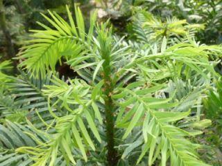 Pine Living Fossil Tree RARE Dino Pine Conifer from Australia