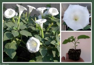 LIVE PLANT WHITE DATURA Inoxia DEVIL angel TRUMPETS moonflower bush