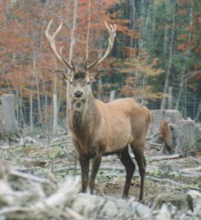 BEST 10 15pt Management Red Stag Hunt European Elk Deer Hunts Hunting