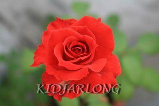 Desktop Wallpaper Roses XII