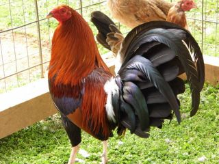 6 LACY ROUNDHEAD GAMEFOWL HACHING EGGS