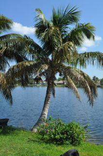 Malayan Dwarf Coconut Palm 5 feet tall, Yellow, live plant, cocos