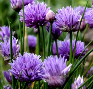 Gourgeous Edible & Attractive Perennials Chives Fresh Seeds