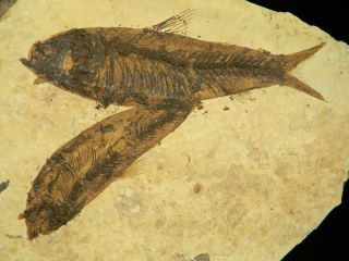 LIFE LIKE Pair of 50 Million Year Old Fossil Fish on Big Natural