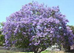 Flowering Trees Blue Jacaranda Fresh Seeds