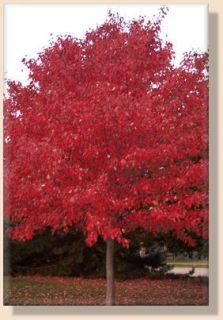 Stunning ** RED MAPLE Bonsai Tree SEEDS * (Acer Rubrum) * Fresh Seeds