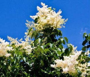 Fragrant Flowering Tree Pekin Lilac Fresh Seeds