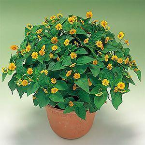 Casino Light Yellow Live Flower Starter Plants Preseason Order