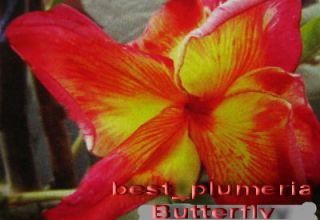 Plumeria Flowers Plants Butterfry Fresh 30 Seeds