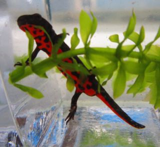 Fire Red Bellied Newt for Live Freshwater Aquarium Fish