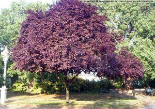 Red Cherry Plum Tree Prunus Cerasifera Pissardii Nigra 10 Fresh Seeds
