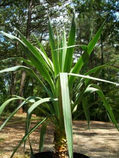 Soft Leaf Yucca Plants Cactus Evergreen Plant Now