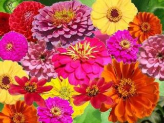 ZIN MASTER ZINNIA MIX Elegans Mixed Colors Flower Seeds Gift Comb S H