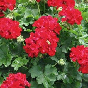 Live Plant Plugs Geranium Calliope Dark Red Vegetative