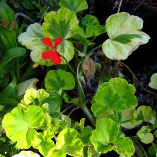 GERANIUM Plant Cuttings★crystal Palace Gem Variegated Bush Red