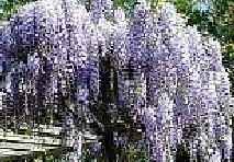 Blue Chinese Wisteria Vine Quick Growing Flowering Plant