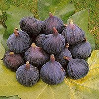 Fig Tree Brown Turkey Fig Tree for Container Growing TE007