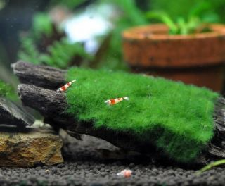 Green Blanket Moss on Driftwood Live Aquarium Plants